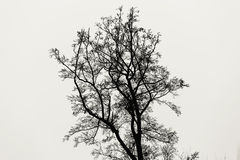Tall tree without leaves isolated on white monochrome background Stock Images