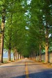 Tall tree lined straight avenue road with diminishing perspective vanishing point Royalty Free Stock Images