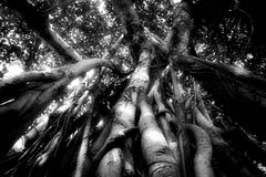 Tall tree with many aerial roots in black and white Royalty Free Stock Image