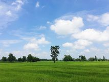 A tall tree in the middle of green field. Royalty Free Stock Photos
