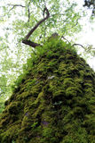 Tall tree with moss Stock Images