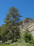 Tall Tree in Mountain Canyon Stock Photography