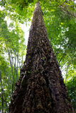 A tall tree in rain forest Royalty Free Stock Photography