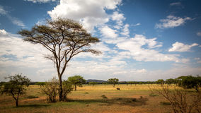 Tall Tree on the Savannah Royalty Free Stock Images