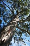 Tall tree Stock Photos
