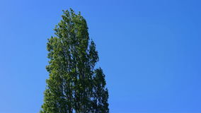Tall Tree Sways In The Breeze stock footage