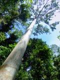 Tall tree in Taman Negara, Malaysia Stock Photography