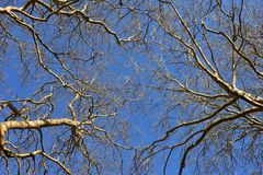 Tree tops with no leaves. Tall tree tops with no leaves seen from below with clear blue sky in background royalty free stock photos