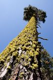 Tall tree trunk with moss Stock Photography