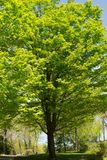 Tall Tree. A very large tree in full bloom during summer Royalty Free Stock Image