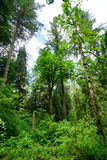 Tall tree in Washington State Royalty Free Stock Photo