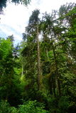 Tall tree in Washington State Royalty Free Stock Images
