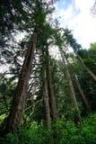 Tall tree in Washington State Stock Photos
