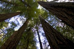 Tall Trees. Giant redwoods Royalty Free Stock Photo