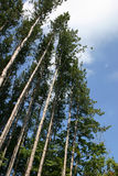 Tall trees. A group of tall red pine trees makes interesting and dynamic diagonal lines Stock Photography