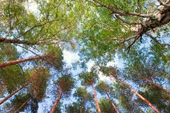 Free Tall Trees Stock Images - 1387114
