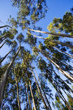 Tall trees. A daylight view of tall trees against a clear and shiny blue sky Royalty Free Stock Image