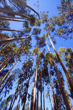 Tall trees. A daylight view of tall trees with high trunks against a clear and shiny blue sky Stock Photography