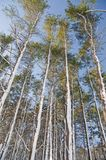 Tall Trees Royalty Free Stock Images