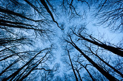Tall trees. Tall and scary trees in a winter day Royalty Free Stock Photography