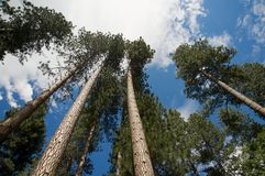 Tall trees Royalty Free Stock Image