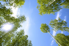 Tall trees. Green leaves and blue sky Stock Photography