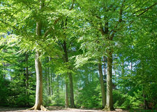 Tall trees. Green natural background with tall trees Royalty Free Stock Images