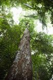 Tall trees. Low angle view of tall trees in Daintree Rainforest, Australia Stock Photography