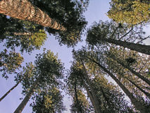 Tall trees. Looking up at tall trees in a circle Stock Photos