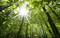 Tall Trees. Sun rays through tall trees in Allegheny national forest Pennsylvania Royalty Free Stock Photography