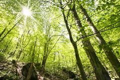 Tall Trees. Sun light piercing through tall trees in Allegheny forest Stock Photo
