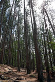 Tall trees in Algonquin Royalty Free Stock Photography