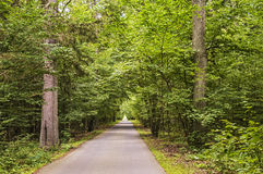 Tall trees along the forest road Stock Photography