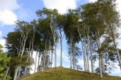 Tall trees, Applecross. Tall trees at Applecross in Scotland Royalty Free Stock Image