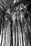 Tall Trees Background Royalty Free Stock Photos