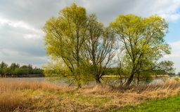 Tall trees on the bank of a creek in springtime. Fresh green leaves on budding tall trees at the banks of a creek in a Dutch National Park. It is a cloudy day in Stock Photo