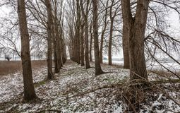 Tall trees with bare branches in a Dutch rural winter landscape royalty free stock images