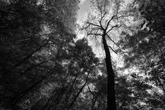 Tall trees from below. A view from below of some tall trees Stock Photo