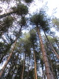 Tall trees Royalty Free Stock Photos