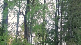Tall trees in the morning. Tall trees in the bright and early morning stock video footage