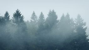 Mist Swirling Around Forest Trees. Tall trees in cold weather with mist moving around them stock video