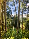 Tall Trees Surrounded by Greenery. Tall trees in Colorado, USA surrounded by flowers and greenery during the summer along a hiking trail royalty free stock images