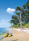 Tall trees and Coral rocks at laxmanpur Beach Royalty Free Stock Images