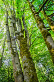 Tall trees covered in moss in the forest Royalty Free Stock Images