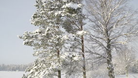 Tall trees covered with thick snow. Snow covering the whole area in the forest during snow fall stock video footage