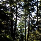 Tall trees at Cypress provincial park. These tall trees at Cypress provincial park provide shadow for hiking people royalty free stock photo