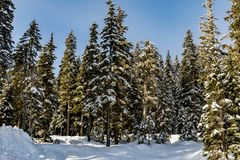 Tall trees on the edge of Stevens Pass Lot 3 parking lot with a fresh white snowbank in front. Tall trees on the edge of Stevens Pass parking lot with a fresh royalty free stock images