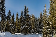 Tall trees on the edge of Stevens Pass Lot 3 parking lot with a hint of fresh white snowbank in front. Tall trees on the edge of Stevens Pass parking lot with a royalty free stock photo
