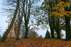 Tall trees in fall. Very tall trees towering above the fall leaf covered ground below Royalty Free Stock Photo