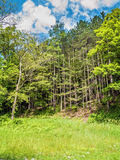 Tall Trees in Field Royalty Free Stock Image